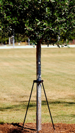 tree staking tree care