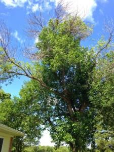 damage emerald ash borer tree