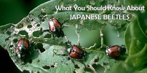Pest Control Japanese Beetles Cedar Rapids