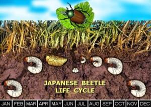 japanese beetles cedar rapids