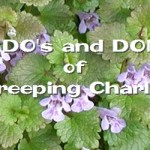 creeping charlie weed control cedar rapids