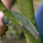 tree pruning health