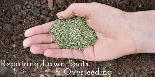 Overseeding-Your-Lawn
