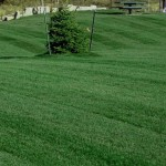 bluegrass lawn care mowing 2