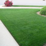 bluegrass lawn care mowing 5