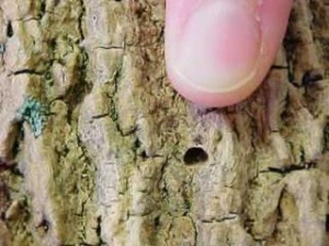 iowa emerald ash borer d shaped hole