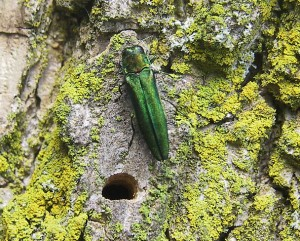 emerald ash borer in iowa