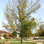 emerald ash borer tree damage