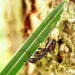 ants lawn pests