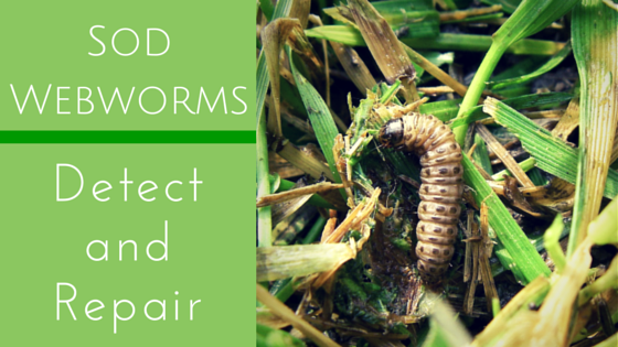 sod webworms cedar rapids