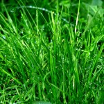 thick healthy lawn