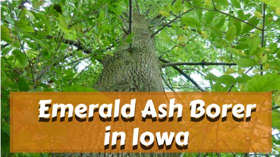 emerald ash borer iowa