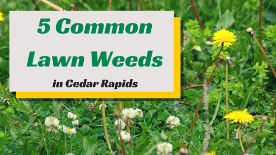 Common Weeds In Cedar Rapids Treatment Amp Preventative