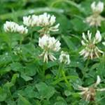 white clover cedar rapids