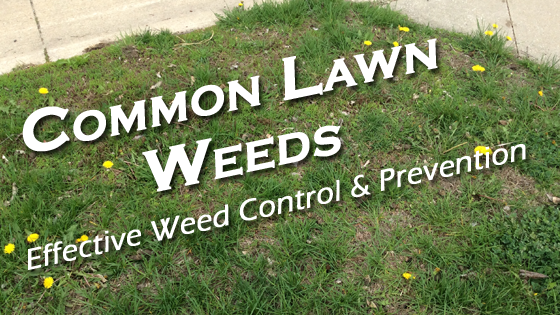 Weed Control Des Moines IA Common Lawn Weeds