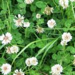 White clover common lawn weeds and Effective Weed Control.