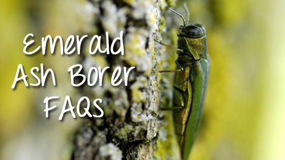 emerald ash borer faqs