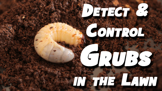 signs of grubs in lawn iowa